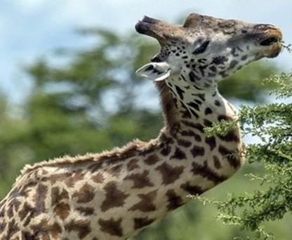 近日,据外媒报道,在坦桑尼亚的国家森林公园里有一头怪异的长颈鹿