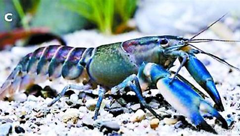 蓝壳小龙虾不是受污染 专家:没毒可放心吃