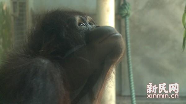 猩娘来啦!上海动物园猩人今晚入洞房
