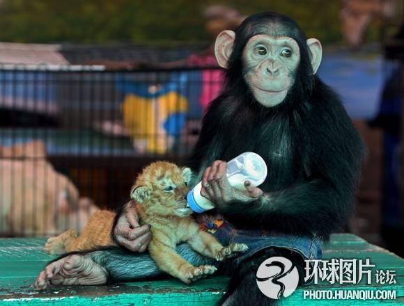 猩猩对镜头狂扔砖头扞卫隐私 人模人样的动物 镜头 扞卫 动物 一只 英国 东北网社会