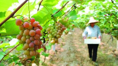 团购量剧降 上海本地产葡萄滞销烂园里