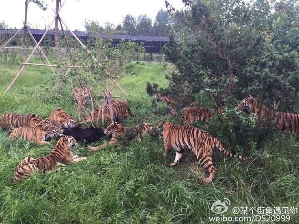 上海野生动物园一小黑熊被一群老虎围攻咬死