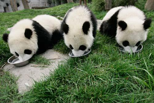 有熊貓有竹子的游戲_大熊貓只有中國有嗎_南寧哪個電影院有功夫熊貓3放映?