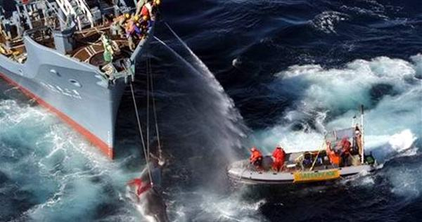 """日本将再次进行所谓""""科研捕鲸"""""""