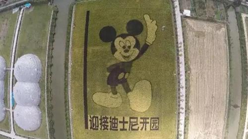 上海迪士尼周边农民稻田画作米老鼠 一个月后可食用