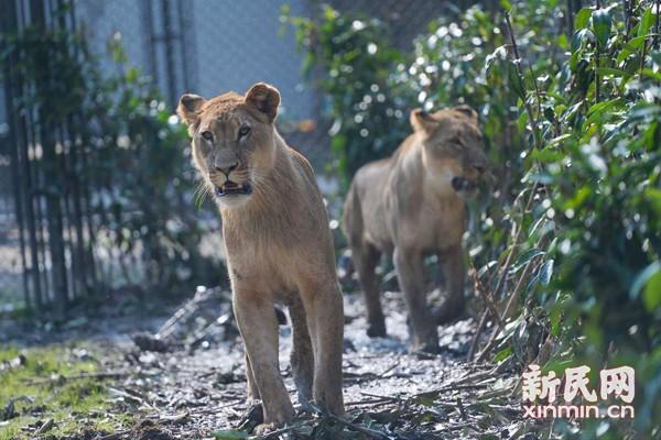"""非洲狮""""津津""""""""菲菲""""在上海野生动物园与游客见面"""