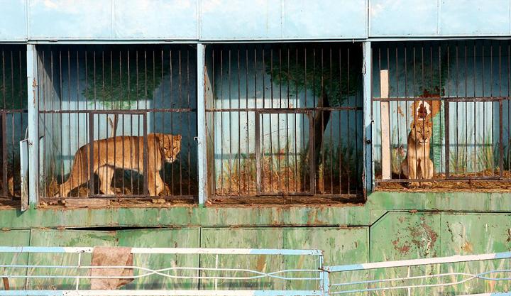亚美尼亚废弃动物园猛兽靠零星肉类维生_社会_新民网