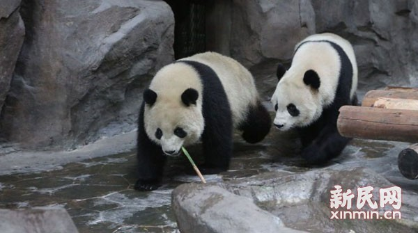 """""""功夫熊猫""""入驻上海野生动物园"""