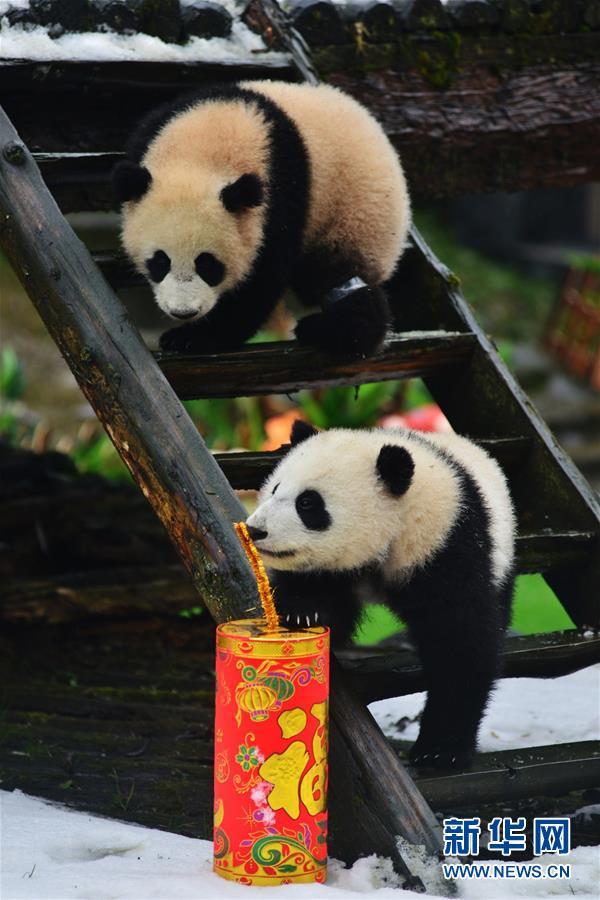 春节临近,中国大熊猫保护研究中心2015年出生的大熊猫宝宝们集体亮相,为即将到来的猴年新春增添了一份喜庆。这是在中国大熊猫保护研究中心雅安碧峰峡基地拍摄的大熊猫宝宝。新华社1月31日摄