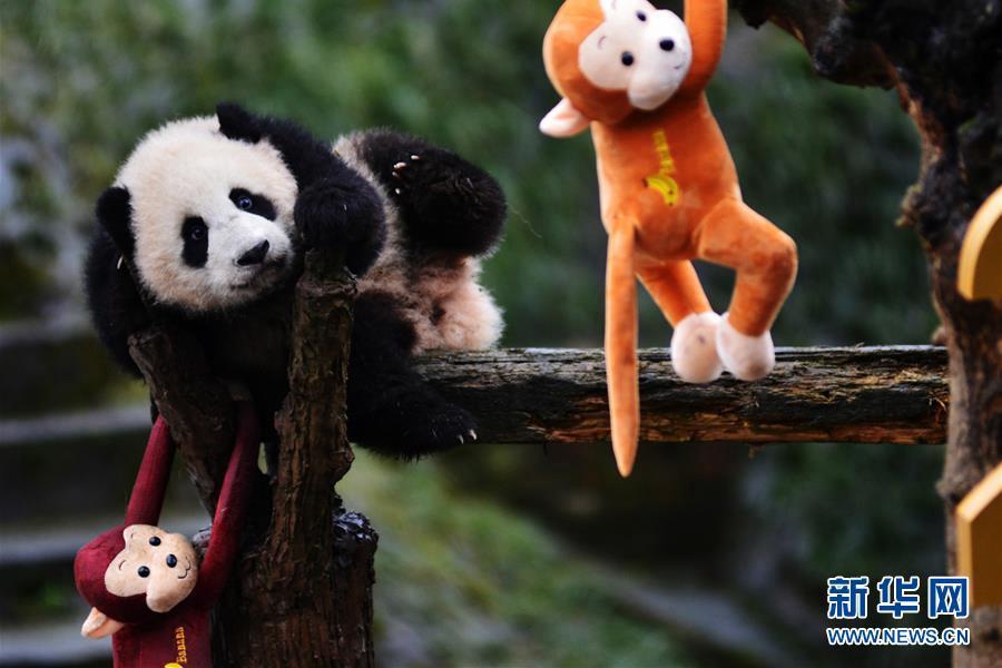 中国大熊猫保护研究中心雅安碧峰峡基地拍摄的大熊猫宝宝迎接新年。新华社1月31日摄