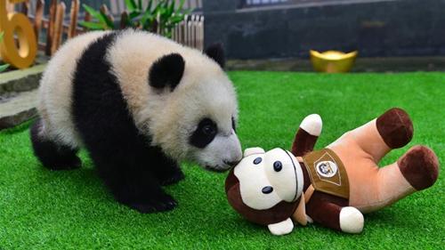 大熊猫宝宝迎猴年闹新春