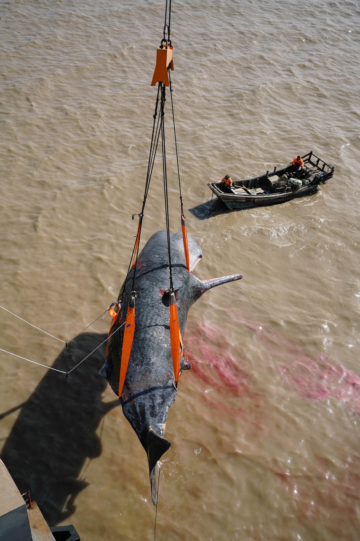 如东沿海滩涂搁浅抹香鲸获打捞