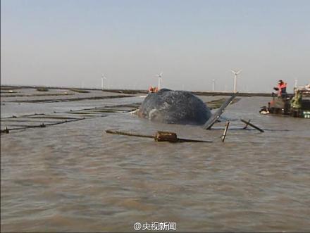 两头抹香鲸在江苏搁浅 将被制作成标本(图)