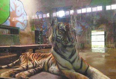 合肥动物园一老虎骨瘦如柴 回应:过胖影响繁殖