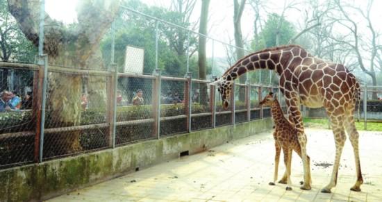 萌翻啦! 苏州动物园长颈鹿宝宝首见游客