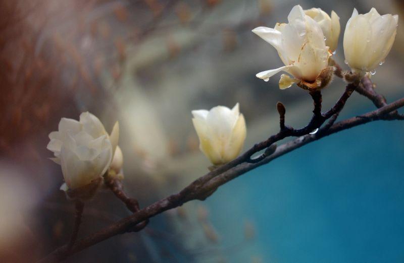 今年申城白玉兰市花提前开放