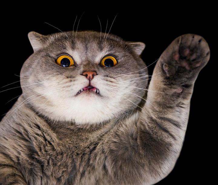 爱因斯坦猫咪 任性时刻都在吐舌头