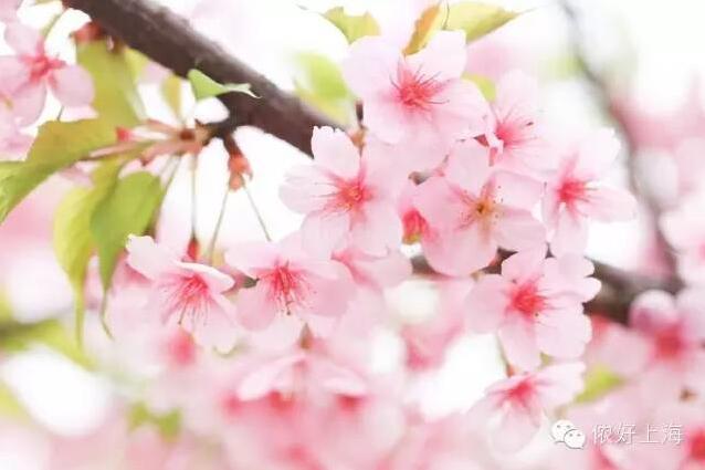 全上海的樱花都开了!
