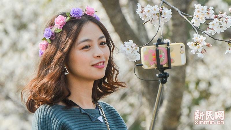 2016上海樱花节明天开幕