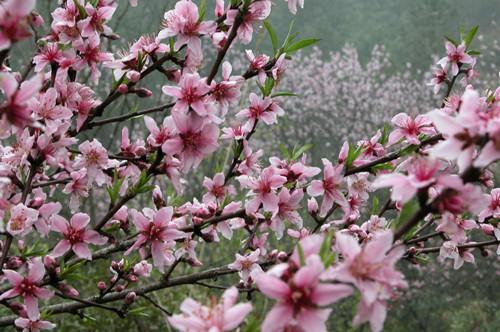 广安鸣钟桃花节