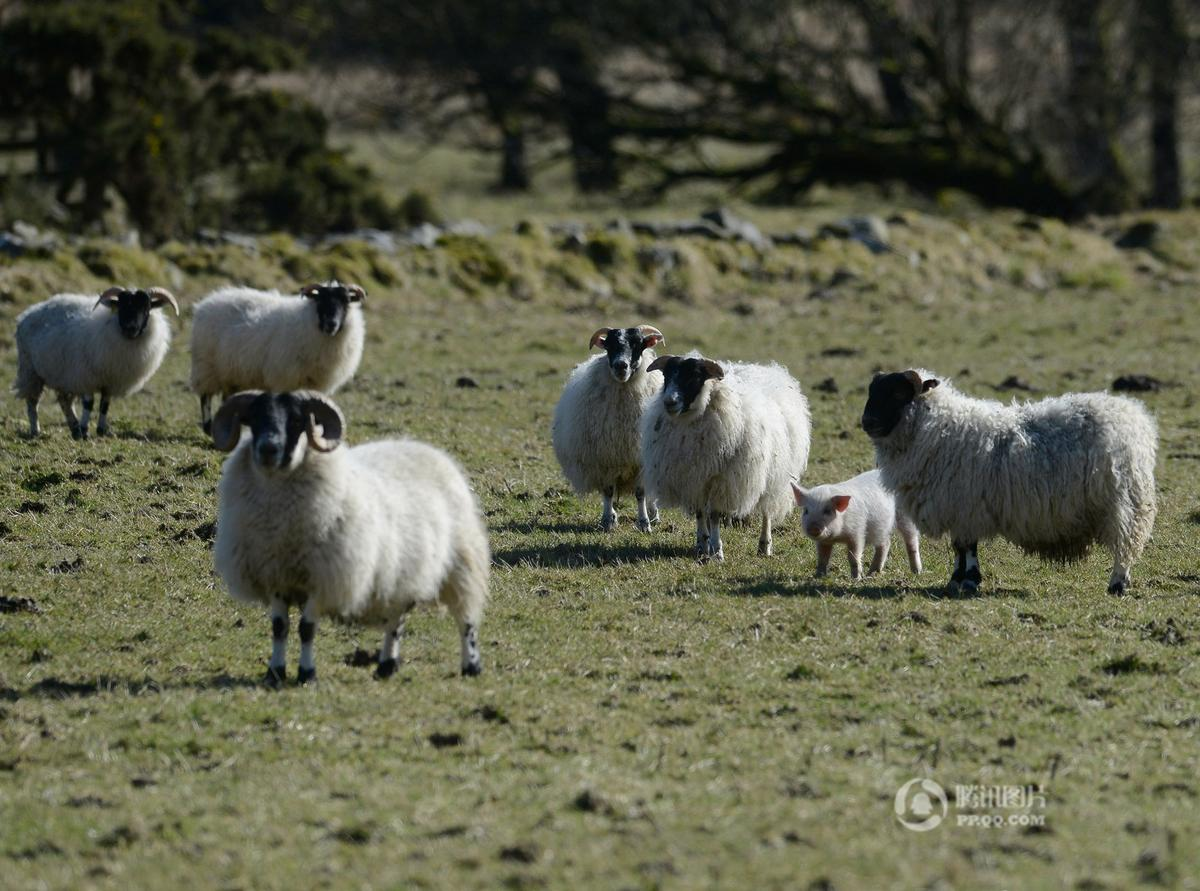 英国小猪误将自己当羊 与绵羊为伍拒绝回家.【图片转载】 - kkk20088 - kkk20088的博客
