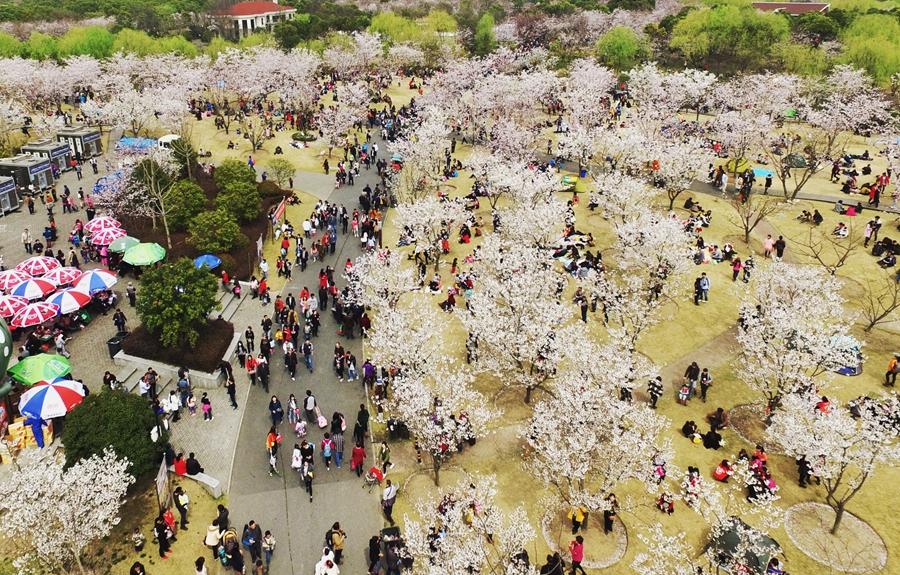 上海樱花节迎来周末大客流 个别游客爬树拍照煞风景