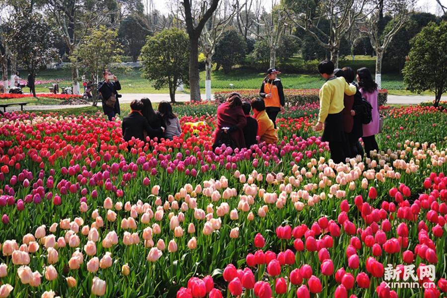 上海鲜花港郁金香如缎似海 赏花赏景有吃有玩
