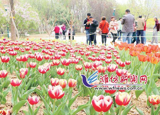 潍坊市植物园郁金香盛开 吸引众多市民前来观赏