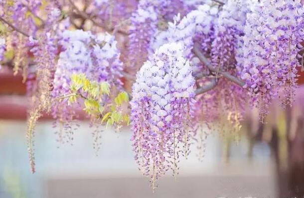 魔都大片大片的紫藤花开了!