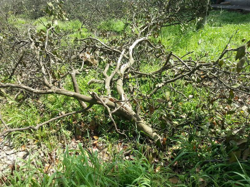 松江一片橘树林惨遭蒙面大汉砍伐