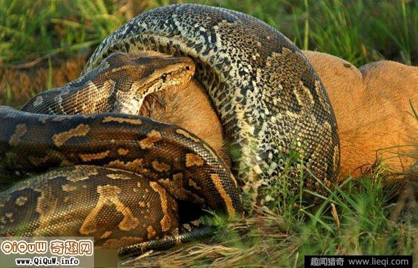 实拍丛林9米可怕长巨蟒蛇吞食老虎场面