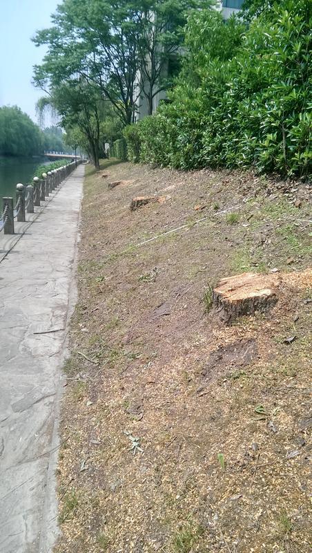 漓江山水花园物业擅自连砍七棵柳树