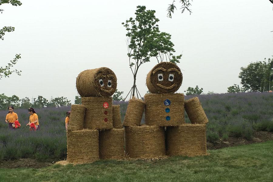 毗邻迪士尼 上海国际旅游度假区的薰衣草都开啦!