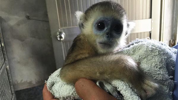 """上海野生动物园金丝猴宝宝""""奇奇""""陪游客过六一"""
