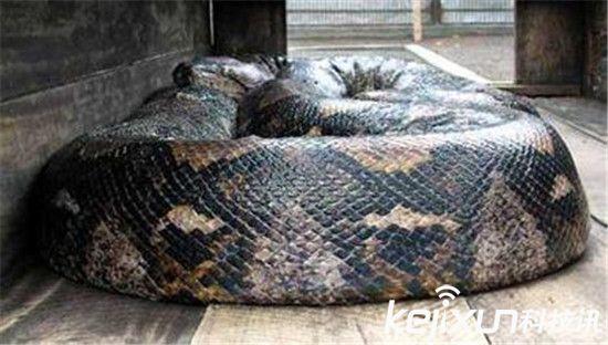 有摄影师拍下了世界上最大的蛇