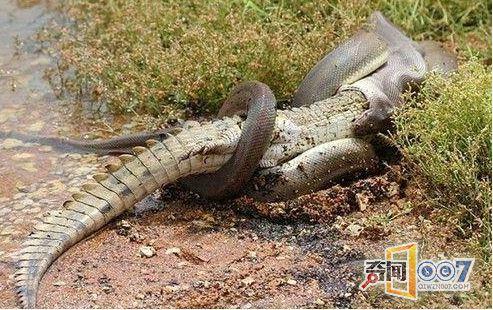 男子野外活捉巨蟒 剖开肚子后当场吓跪倒