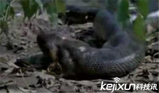 世界上最大的蛇 亚马逊森蚺竟可生吞河马惊呆!