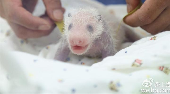 上海第一只大熊猫宝宝出生啦!油墩子、沪小胖...网友起名笑疯我了!