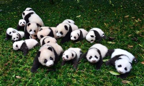 壁纸 大熊猫 动物 500_300
