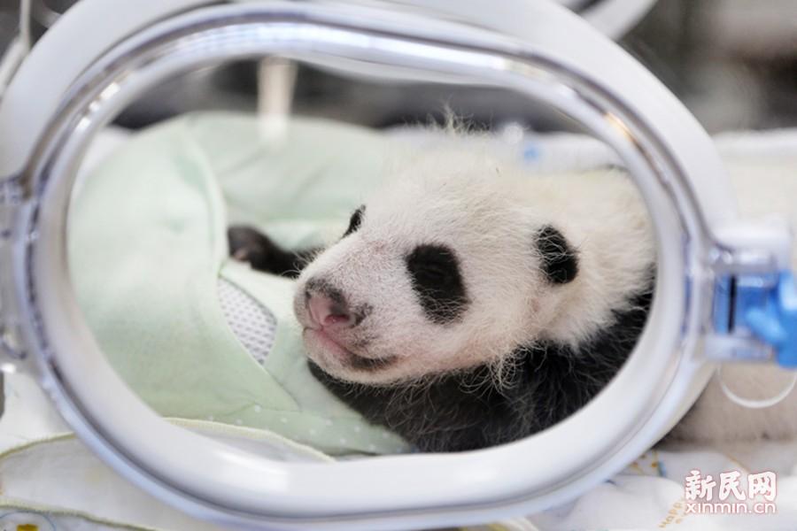 量胸围称体重 阿拉熊猫宝宝满月也体检