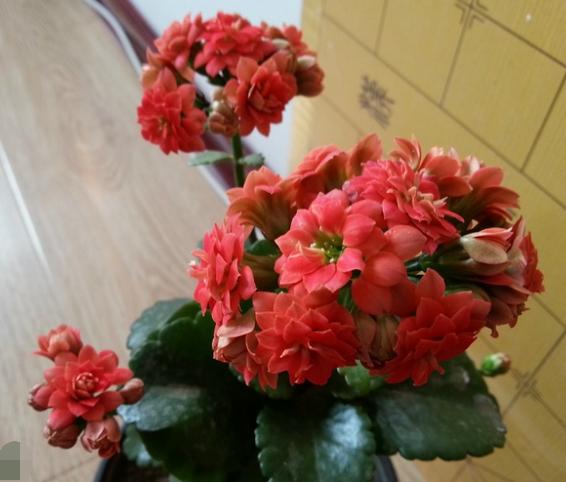 """春节应注意:新年养花有四""""不要"""""""