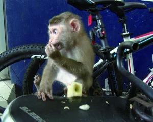 猴子坐在电动自行车后座上吃果子-不速之客来串门 市民家秒变 疯狂动图片