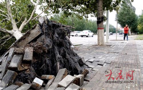 看到一棵大杨树被风刮倒,横卧街头,树根撅起完全暴露在外,树枝和树干