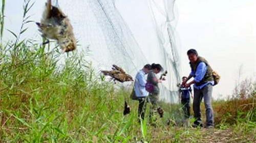 天津拆除万余米捕鸟网 1名违法捕猎嫌疑人被拘