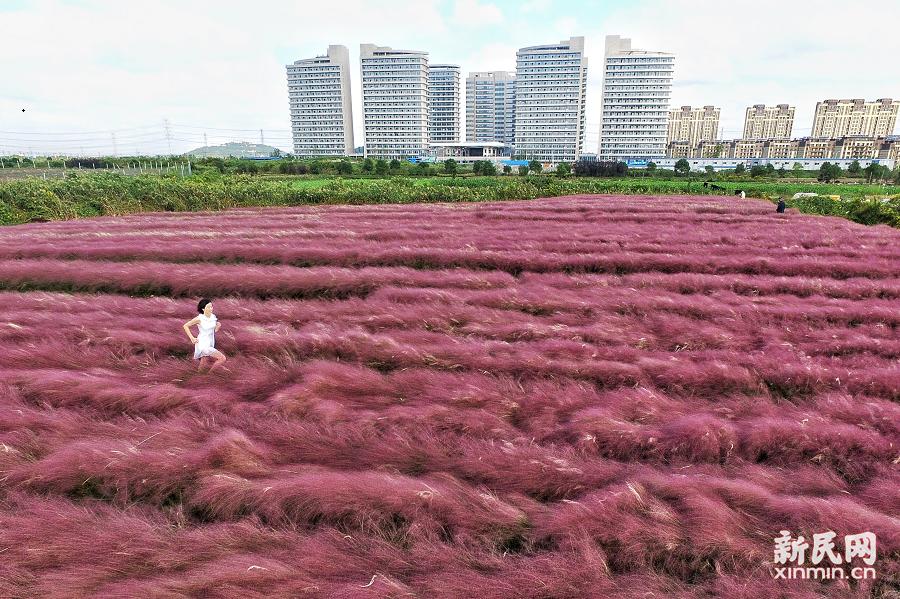 """上海松江有一片美如仙境的""""粉色花海"""""""