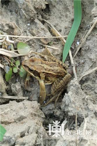 稻田地边的小青蛙.东北网记者 许俊鹏 摄-金秋走龙江 东北稻香飘南国