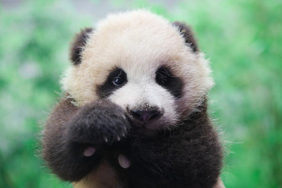 """""""上海版""""熊猫""""花生""""百天 从趴趴熊到爬爬熊"""