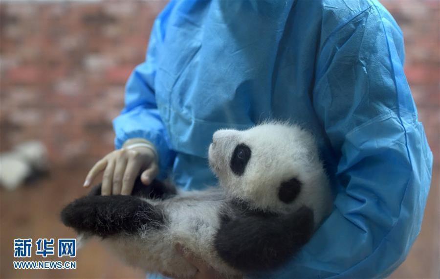"""走进成都""""熊猫幼儿园"""" 23只熊猫幼崽满地爬"""