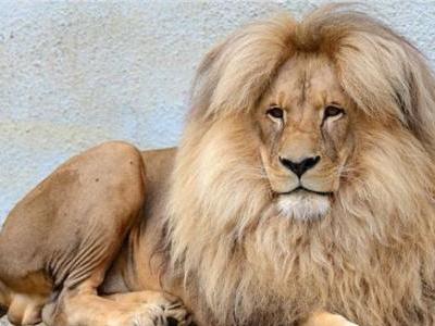 飘柔动物界代言人!中分秀发飘逸的美男狮