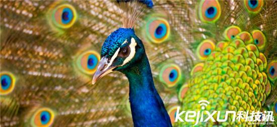 世界上最多彩的动物 最美孔雀竟然垫底!